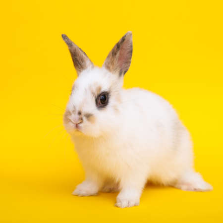 lapin: Little cute rabbit on the yellow background
