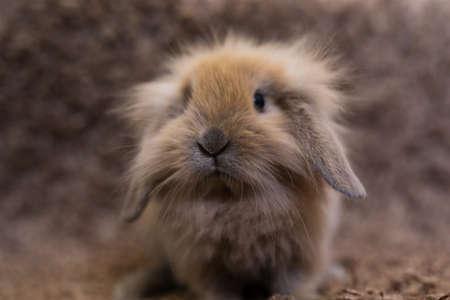 Studio shot of domestic rabbit Stock Photo
