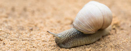 Garden Snail in front of nature background