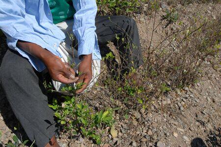 illicit: contadini in un campo di coke