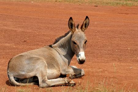 mule: ass resting
