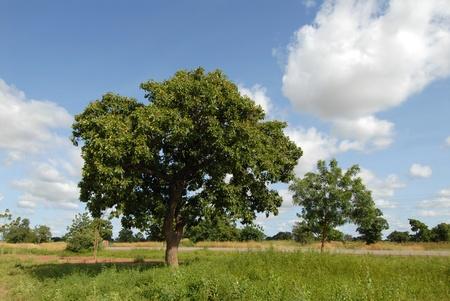 árbol de karitè Foto de archivo