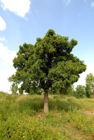 shea butter: karitè tree Stock Photo