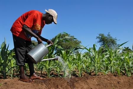 Malawi - February  10,2011: farmer watering his field of sugar cane.The population of Malawi are mostly cultivated mainly sugar cane, a mainstay of the country.