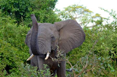 elephant in the bush Stock Photo - 9516446