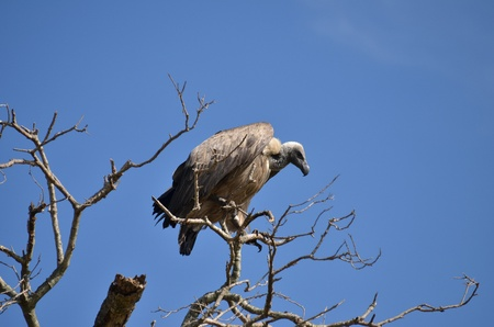 beak vulture: vulture on a dead branch of a tree Stock Photo