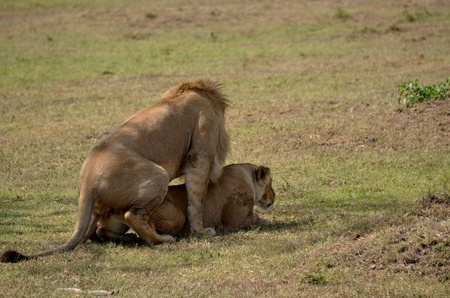 lions mating in the bush photo