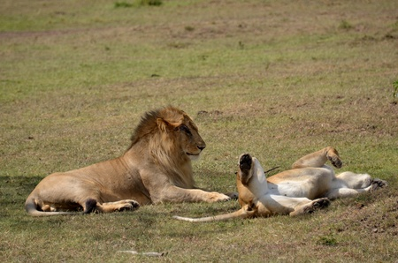animal mating: lions on the savannah of the Masai Mara