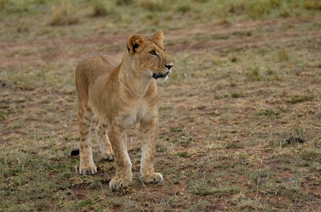 female lion: puppy lion Stock Photo