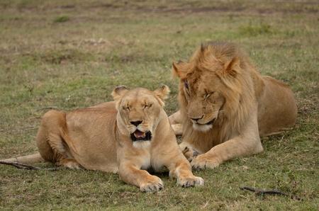 female lion: lions on the savannah of the Masai Mara