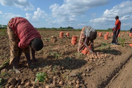 african women: African women in a field of potatoes