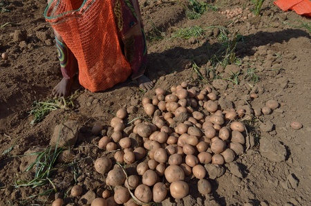 African women in a field of potatoes