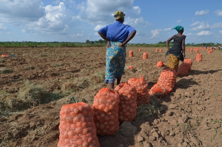 zambia: African women in a field of potatoes