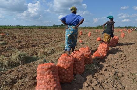 Las mujeres africanas en un campo de patatas