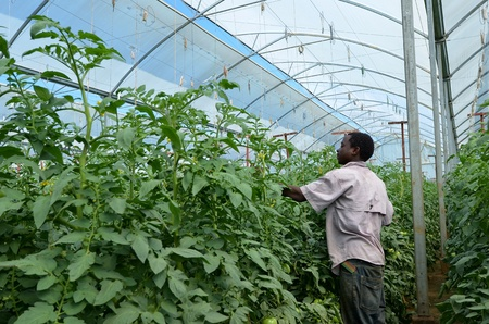LUSAKA, ZAMBIA - DECEMBER 2: farmer takes care of tomato plants in greenhouses, which provide employment to 800 farmers, on December 2,2011 in Lusaka, Zambia