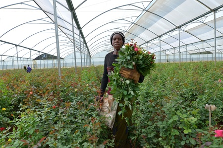 LUSAKA, ZAMBIA - DECEMBER 2: African women in the greenhouses gather roses for export to Europe, which provide employment to 800 farmers, on December 2,2011 in Lusaka, Zambia