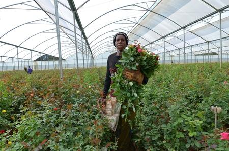 Lusaka, Zambia - 02 de diciembre: las mujeres africanas en los invernaderos recoger rosas para la exportación a Europa, que dan empleo a 800 agricultores, en diciembre de 2,2011 en Lusaka, Zambia