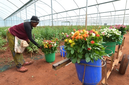 LUSAKA, ZAMBIA - DECEMBER 2: African women in the greenhouses select  roses for export to Europe, which provide employment to 800 farmers, on December 2,2011 in Lusaka