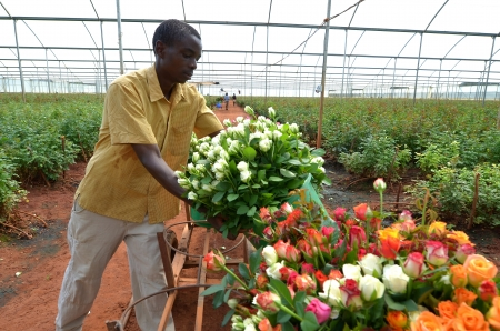 LUSAKA,ZAMBIA - DECEMBER 2: African men in the greenhouses select  roses for export to Europe, which provide employment to 800 farmers, on December 2, in Lusaka, Zambia