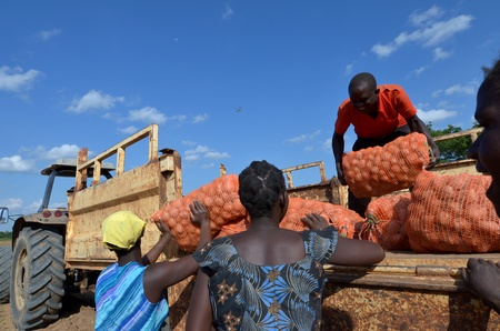 Lusaka, Zambia, diciembre 3,2011: un grupo de agricultores se reunieron las patatas y cargar el camión para la exportación a Zambia y Malawi, a 300 agricultores que trabajan en este campo, en diciembre de 3,2011 en Lusaka, Zambia
