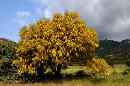 mimosa: mimosa tree