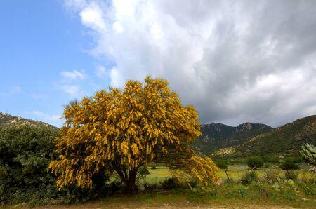 mimosa tree Stock Photo - 13126673