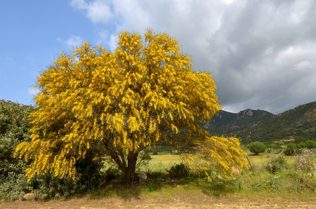 cried: mimosa tree