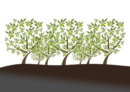 arboleda: campo de las aceitunas