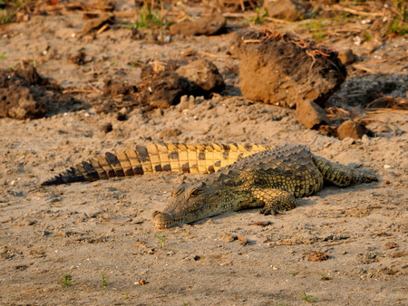 repent: crocodile in the park Liwonde Malawi