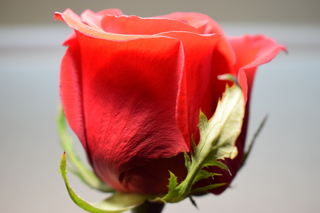 Red rose with gray background. Фото со стока