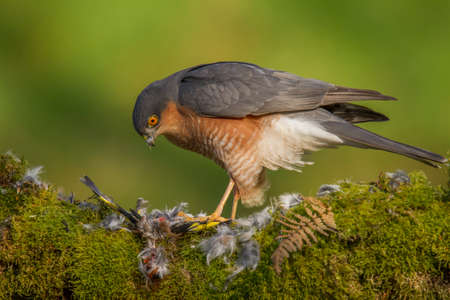Bird of Prey - Sparrowhawk (Accipiter nisus), also known as the northern sparrowhawk or the sparrowhawk sitting on a trunk covered in moss.