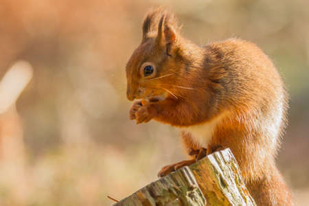 Red squirrel, Sciurus vulgaris,holding a hazelnut Фото со стока
