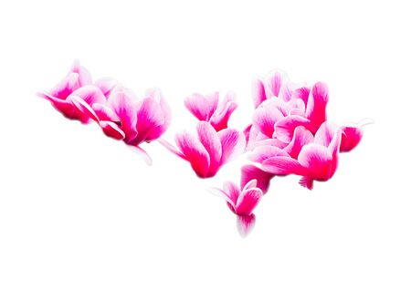 tulip: Pink flower isolated on white background Stock Photo