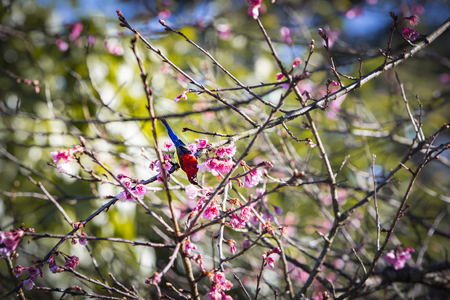 cherry blossom with bird in morning time Stock Photo