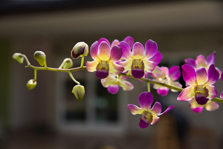 Light purple color Phalaenopsis orchid flowers with natural green background.