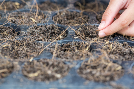 Hand droping Flower seed in nursery trays for planting tree, environment concept