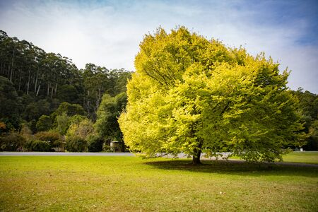 Yellow leaf tree with green grass, Warburton Australia