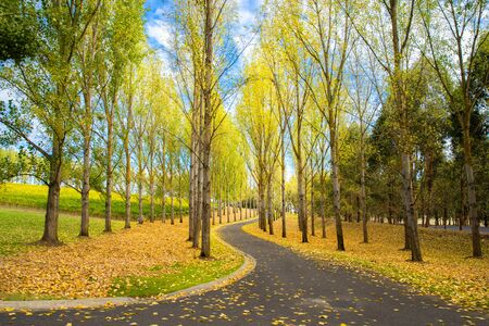English trees and ground covered with Autumn leaves, Yarra Valley, tarrawarra, Melbourne, Australia