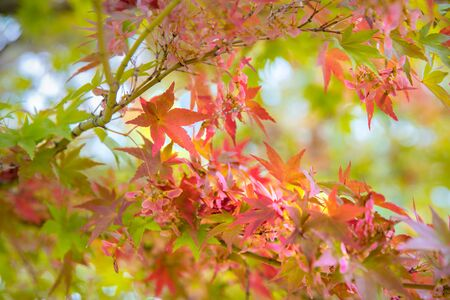 Red maple leaf in winter season, Melbourne Australia