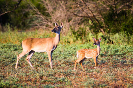 fawn: Mother doe and fawn whitetail deer on alert. Stock Photo