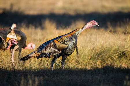 strutting: Wild South Texas Rio Grande turkey standing looking down to the right