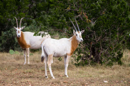 animals horned: Wild Scimitar Horned Oryx calf standing to the right. These animals are extinct in their native lands of Africa. Stock Photo