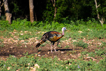 gobble: Wild South Texas Rio Grande turkey standing facing forward to the right
