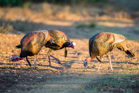 Wild South Texas Rio Grande turkeys eating corn