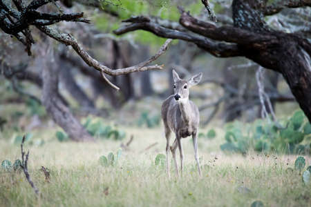 south texas: South Texas whitetail doe in the woods on a ranch