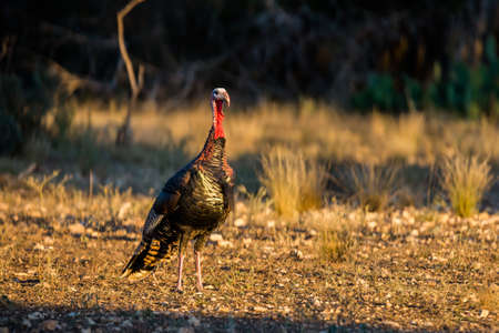 Wild South Texas Rio Grande turkey on alert looking in the distance