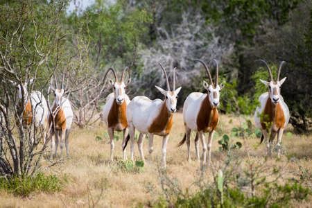 animals horned: Wild Scimitar Horned Oryx herd. These animals are extinct in their native lands of Africa. Stock Photo