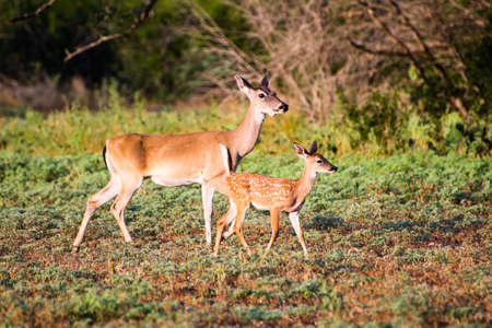 south texas: South Texas Whitetail fawn with its mother Stock Photo