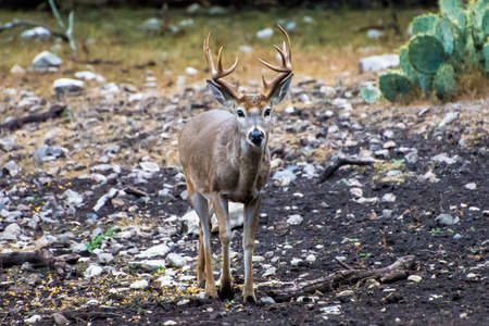 White tail buck walking towards the camera. Stok Fotoğraf