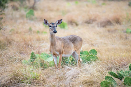 south texas: South Texas Doe standing front left early in the morning Stock Photo